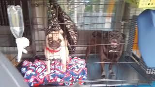 ギネス&ウルケル、車でお出かけ。 大型犬用折りたたみケージとトイレを...