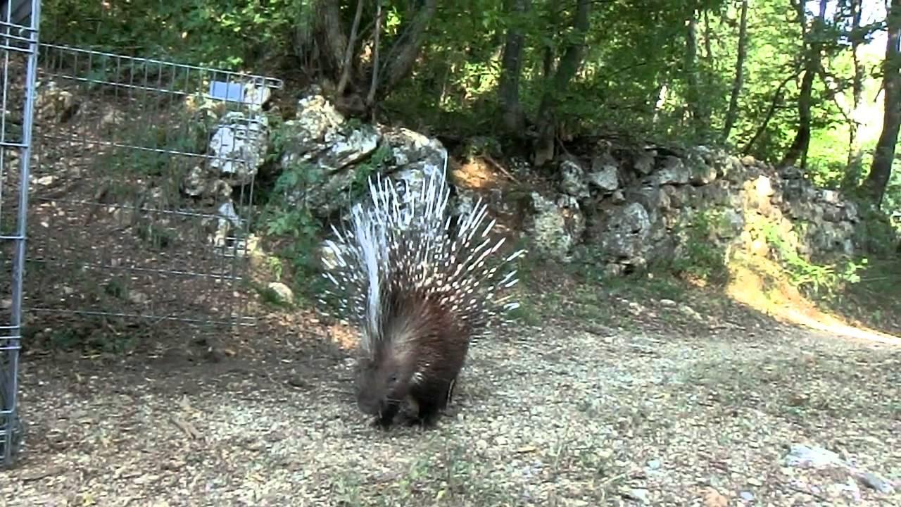 Liberazione di un 39 istrice video 1 lav grosseto al for Noleggio di cabine di istrice