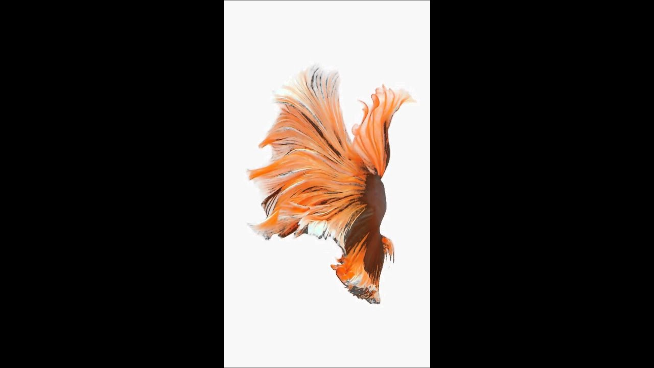Fighter Fish Hd Wallpaper Download Animated Wallpaper N 3 From Iphone 6s And Ios 9 Ispazio