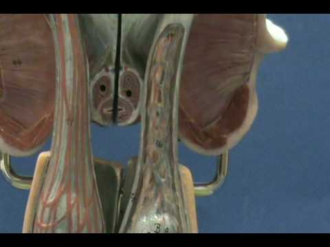 Male Reproductive Model Upright Model Scrotum Inguinal Canal