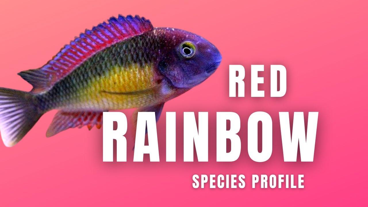 Tropheus Moorii Kasanga Red Rainbow Tropheus Youtube