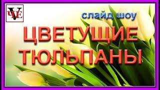 Цветущие ТЮЛЬПАНЫ. Слайд шоу.