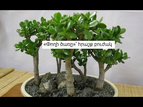 «Փողի ծառը»՝ հրաշք բուժակ