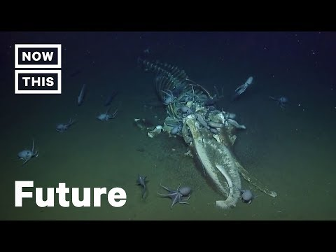 Scientists Freak Over Swarm Of Octopuses Eating Dead Whale | NowThis