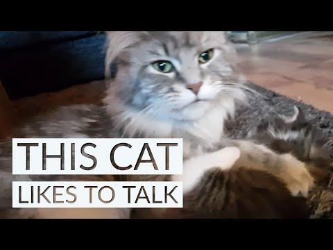 Maine Coon | Mother talking and washing her kitten