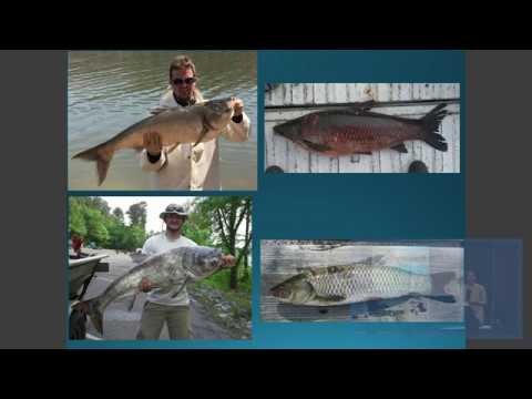 Research and Removal Efforts in Western Kentucky: Silver, Bighead, Grass and Black carp