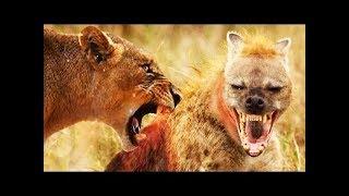 Pack of Hyenas Attack Lion- lion brutally kills hyena- Most Amazing Wild Animal Fights