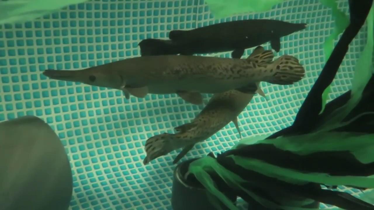 Le poisson alligator et sa tribu aquatis aquarium - Poisson shark aquarium ...