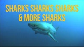 Sharks Sharks Sharks & More Sharks