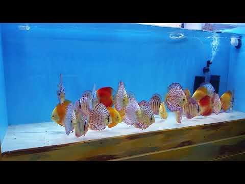 Bare Bottom Easy Discus Fish Maintenance @ Discus America Bare Bottom Tank Maintenance