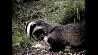 Badger Watching In Britain