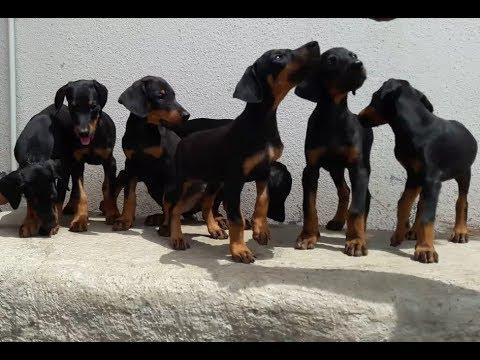Doberman Pinscher Puppies for Sell || SHRI NATH FARM