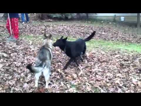 German Shepherd Dog Fight German Shepherd dog (R...