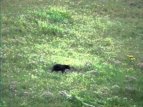 Black Bear Cub Walking at Yellowstone National Park