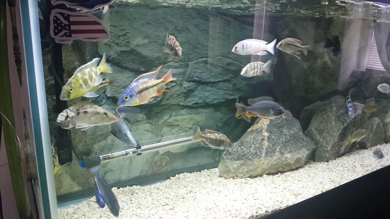 Cooper 39 s cichlids and my 1yr old northfin fish food lover for Northfin fish food