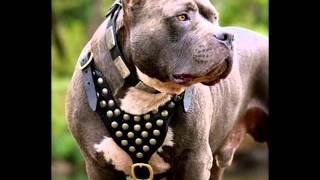 MR. PiT BuLL самые Класные собаки в мире...Автор - SaaQuu(L) ↙ - ϯ -
