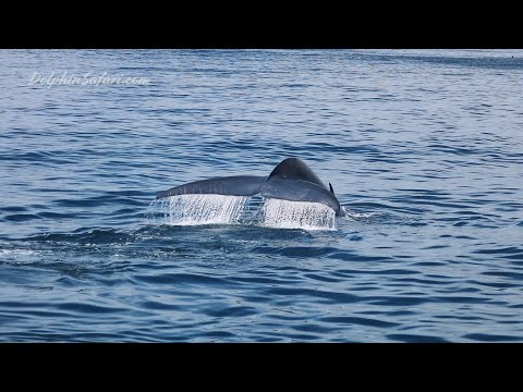 First Blue Whale Of 2019 | Dana Point, CA | Capt. Dave's Whale Watching