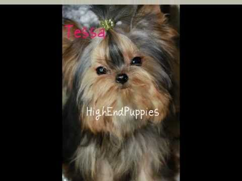 Micro Adult Female Teacup Yorkie With Baby Doll Face Thick Coat