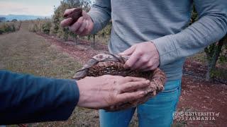 Truffle gold in Tassie