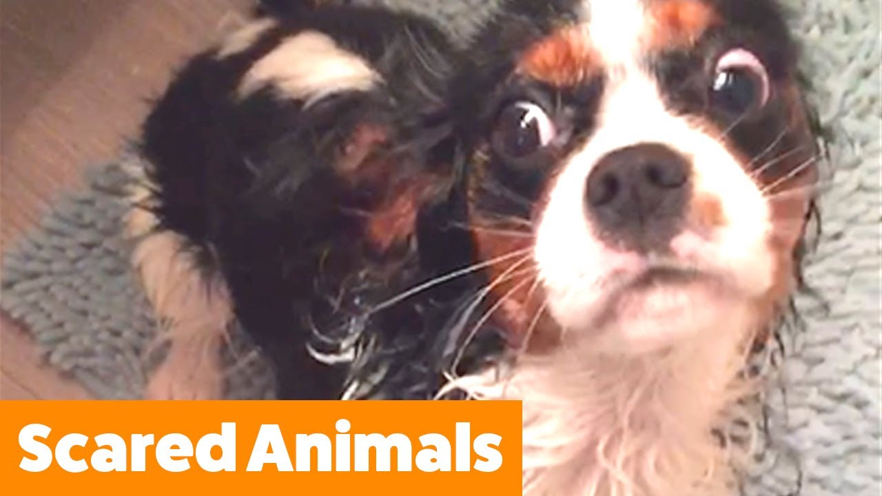 Cutest Pets Getting Scared   Funny Pet Videos