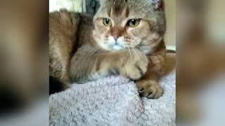 Шотландские котята питомник Melody Soul  купить