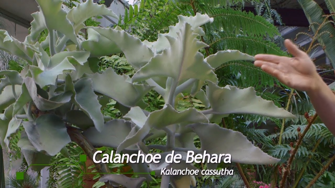 condyloma és Kalanchoe paraziták ellen milícia dal