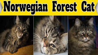 Norwegian Forest Cat – Fluffy Cat Breed Facts | Petmoo