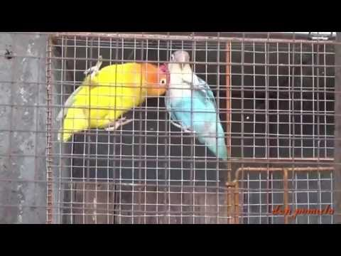 Contoh Lovebird Jantan Minta Kawin Tapi Betinanya Tidak Tanggap (Jantannya Nyontohin Ngleper)