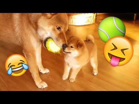 Shiba Inu dad playing with puppy