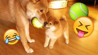 柴犬親子の可愛すぎるボール遊びに癒される~♪
