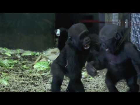 Playtime for Baby Gorillas