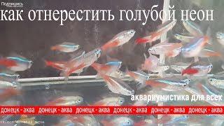 рыбка голубой неон, Paracheirodon innesi, как содержать, разводить, аквариумистика для всех
