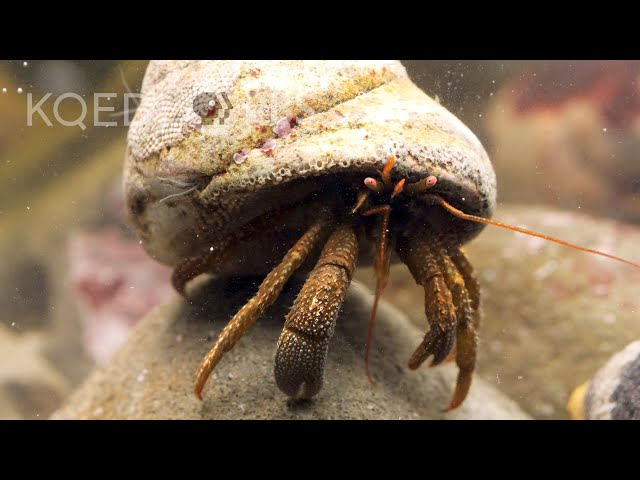 These Feisty Hermit Crabs Brawl Over Snail Shells   Deep Look