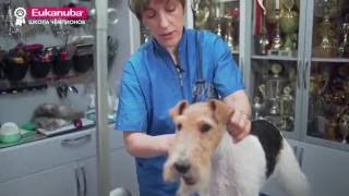 Груминг выставочных собак. Урок 1. Уход за жесткошерстной собакой