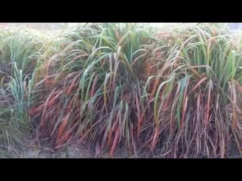 CITRONELLA -  Cymbopogon winterianus Cultivation (Slips & Oil Available)