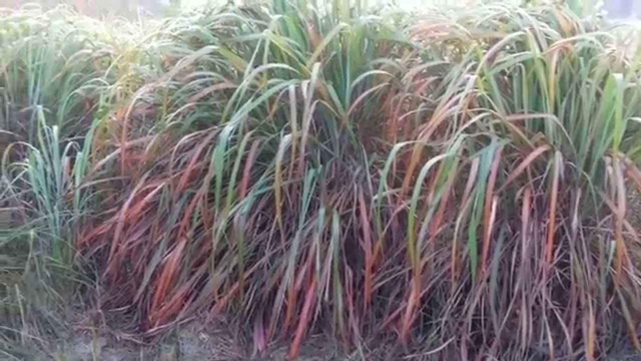 Citronella Cymbopogon Winterianus Cultivation Slips Oil