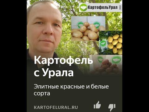Ривьера, Эл Мундо и др. Уральские семена картофеля с августа 2020.
