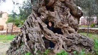 видео Самые колючие деревья на Планете