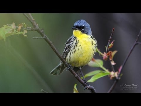 Kirtland's Warbler Extended