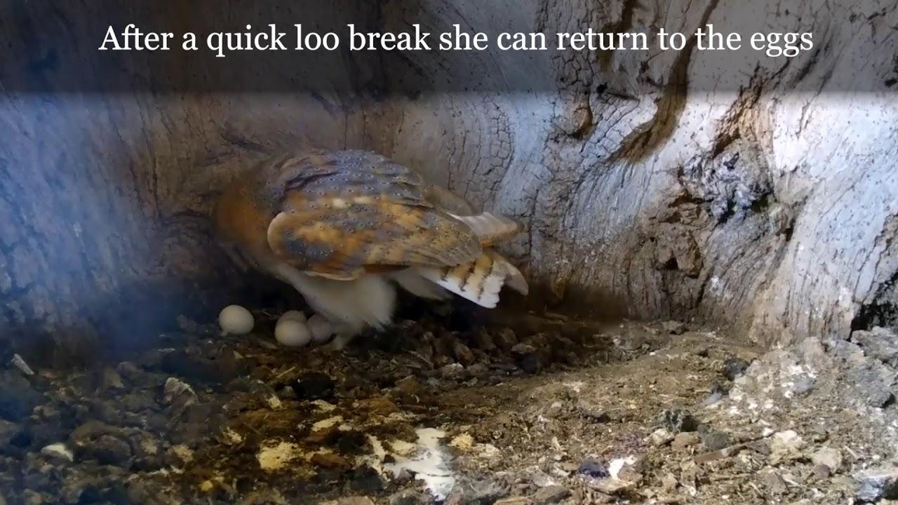 Barn Owl Nest Camera | April 2019 | Incubation: Patience ...