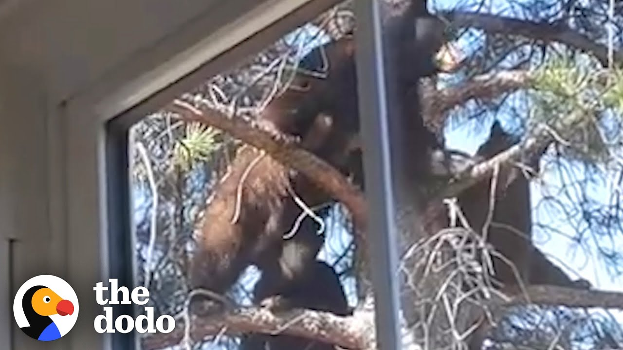 How Will These Bears Get Down?!   The Dodo
