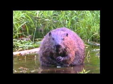 Bever-Beaver-(Castor fiber)