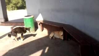 Собака дрочит или пёс-кончеглот