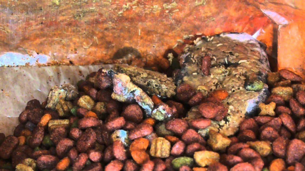 Maggots In Purina Dog Food