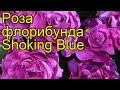 Роза флорибунда Шокинг Блю (Shoking Blue). Краткий обзор, описание характеристик, где купить саженцы