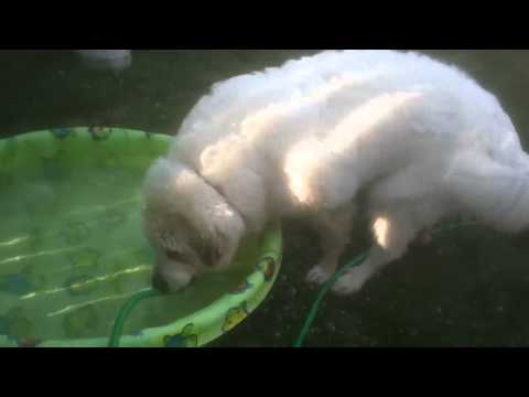 Oliver the great Pyrenees tries out  his new swimming pool