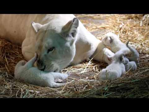 Tender Lioness With New Born Cubs