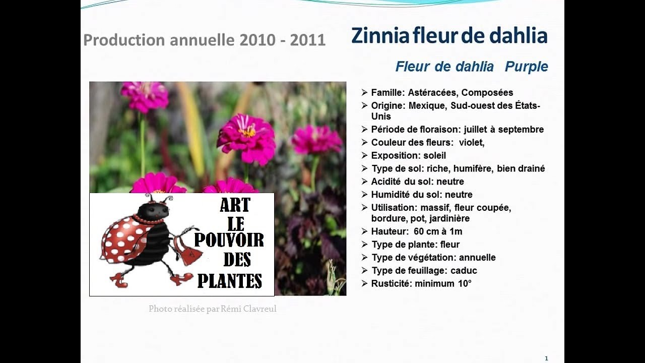 zinnia fleur de dahlia purple: plante annuelle - youtube