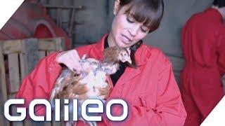 Selbstversuch: Drei Tage als Hühnerbäuerin | Galileo | ProSieben