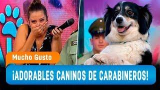 Los increíbles trucos de los perros de Carabineros de Chile - Mucho Gusto 2019